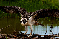 Osprey Chick Testing it's Wings