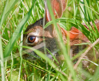Rabbit in the brush